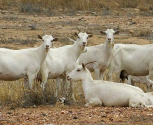 Cabras Marotas