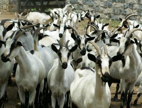Cabras Moxotós