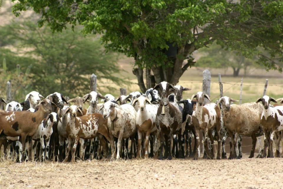 Ovelhas Santa Inês