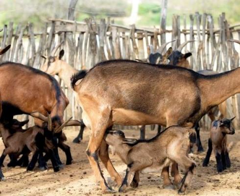 Cabras Pardas Sertanejas