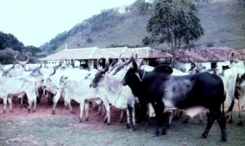 visitas a Fazenda Itaoca - RJ - compras iniciais de Guzerá (3)