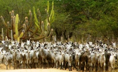 Cabras serranas