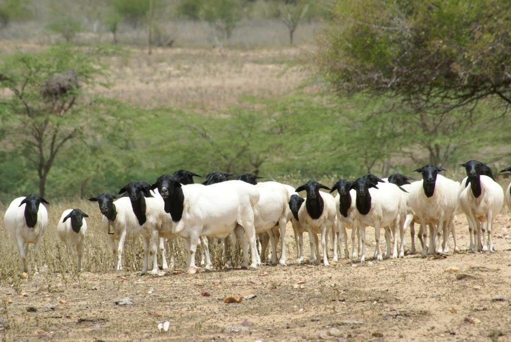 ovelha somalis